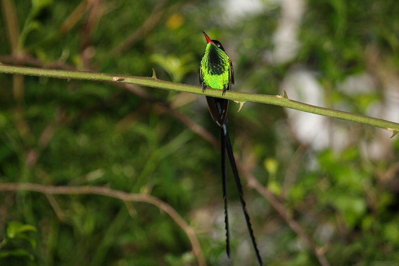 File:Red-billed Streamertail 2506104129.jpg
