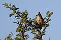 Red-faced mousebird, Urocolius indicus, at Pilanesberg National Park, Northwest Province, South Africa (28054425743).jpg