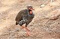 Red-necked Francolin (Pternistis afer) (32670108968).jpg