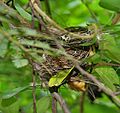 Red-vented Bulbul (Pycnonotus cafer) nest in Anantgiri, AP W IMG 8896.jpg