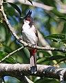 Red-whiskered Bulbul (Pycnonotus jocosus) (21450790399).jpg