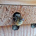 Red mason bee (Osmia bicornis) nest being sealed, Sandy, Bedfordshire (8912345900).jpg