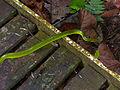Redtail Rat Snake (Gonyosoma oxycephalum) crossing the boardwalk (15435595060).jpg