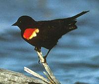 Redwingblackbird1.jpg