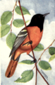 Reed-baltimore-oriole.png