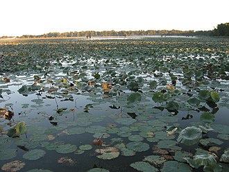 Reelfoot Lake - Shallow areas of Reelfoot Lake provide habitat for many aquatic plants