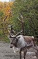 Reindeer (45240336552).jpg