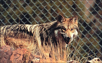 Wolf reintroduction - Captive bred Mexican wolf in pen, Sevilleta National Wildlife Refuge.
