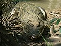 Reptile Salt Water Crocodile P1110400 06.jpg