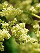 Rhabarber-Blütenrispe