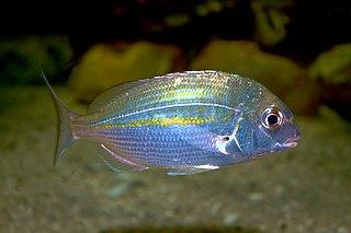 <i>Rhabdosargus holubi</i> species of fish