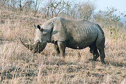 Rhinocéros blanc mâle, en Afrique du Sud