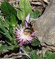 Rhodanthidium (septemdentatum) - Flickr - gailhampshire.jpg
