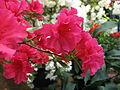 Rhododendron 'Euratom' 04.JPG
