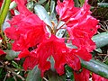Rhododendron (Rhododendron) (2).jpg
