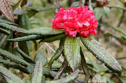 Maha rath mala (Rhododendron arboreum ssp. zeylanicum) is a rare sub-species of Rhododendron arboreum found in Central Highlands of Sri Lanka. Rhododendron arboreum zeylanicum flower.jpg