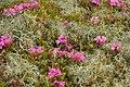 Rhododendron myrtifolium3.jpg