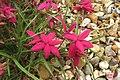 Rhodohypoxis baurii 'Tetra Rose' (30471108816).jpg