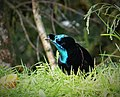 Ribbon-tailed Astrapia male. (Astrapia mayeri) (48941080772).jpg