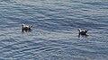 Ring-billed Gulls (Larus delawarensis) - Port Rexton, Newfoundland 2019-08-14.jpg