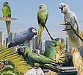 Ring-necked Parakeet from the Crossley ID Guide Britain and Ireland.jpg