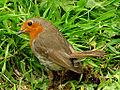 Robin (5772341080).jpg