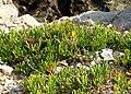 Rock Samphire (Crithmum maritimum) - Winspit - geograph.org.uk - 1501141.jpg