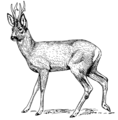 Roe (PSF).png