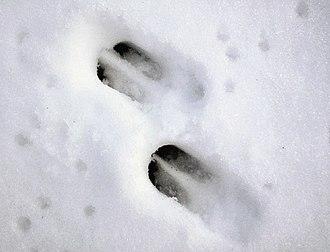 Roe deer - Roe deer tracks