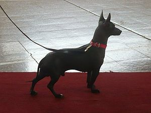 Argentine Pila Dog - Rony, Pila Andino, type adapted to life at high altitude.