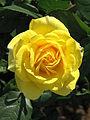Rosa 'Carte d'Or' 06.jpg