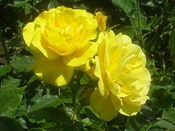Rosa Friesia 1