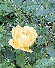 Rosa Golden Celebration.jpg