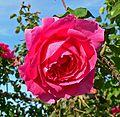 Rosa Parade 1.jpg