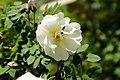 Rosa Pimpinellifolia (113704145).jpeg