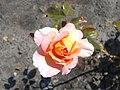 Rosa Rosemary Harkness 2018-07-16 6803.jpg