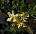 Rosa banksiae var. normalis (2346167841).jpg