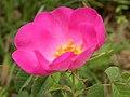 Rosa gallica.jpg