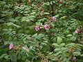 Rosa macrophylla (7789364132).jpg