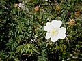 Rosa spinosissima 003.jpg