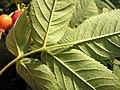 Rosa villosa leaf (05).jpg