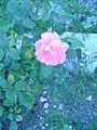 Rosas da UL (7).JPG