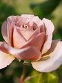 Rose, Caffè Latte, バラ, カフェ ラテ, (15660288297).jpg