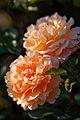 Rose, Manyo - Flickr - nekonomania.jpg