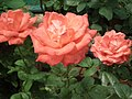 Rose from Lalbagh flower show Aug 2013 8563.JPG