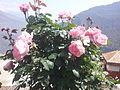 Roses at Dhunche 3.jpg