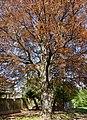 Rotbuche in Wildon.jpg