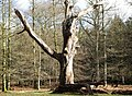 Rotting Tree in the Rhinefield Ornamental Drive - geograph.org.uk - 344035.jpg