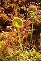 Round Leaf Sundew Unfurling (3818451554).jpg