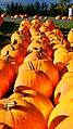 Row of Pumpkins (4008750012).jpg